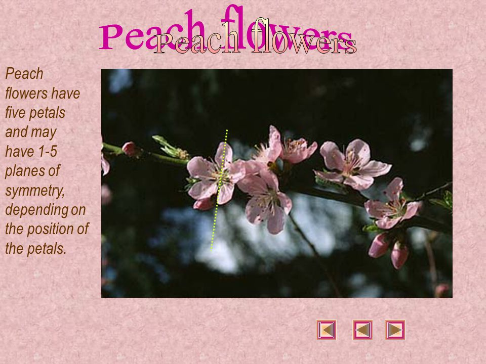 Apart from having many planes of symmetry, peaches display central symmetry, like peach flowers.