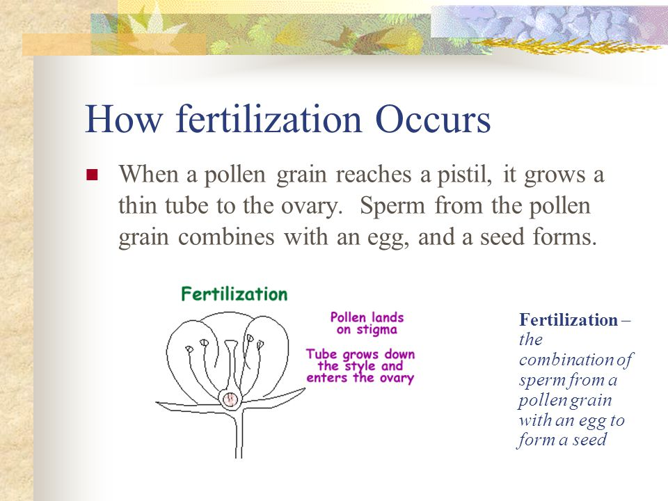 How fertilization Occurs When a pollen grain reaches a pistil, it grows a thin tube to the ovary. Sperm from the pollen grain combines with an egg, an