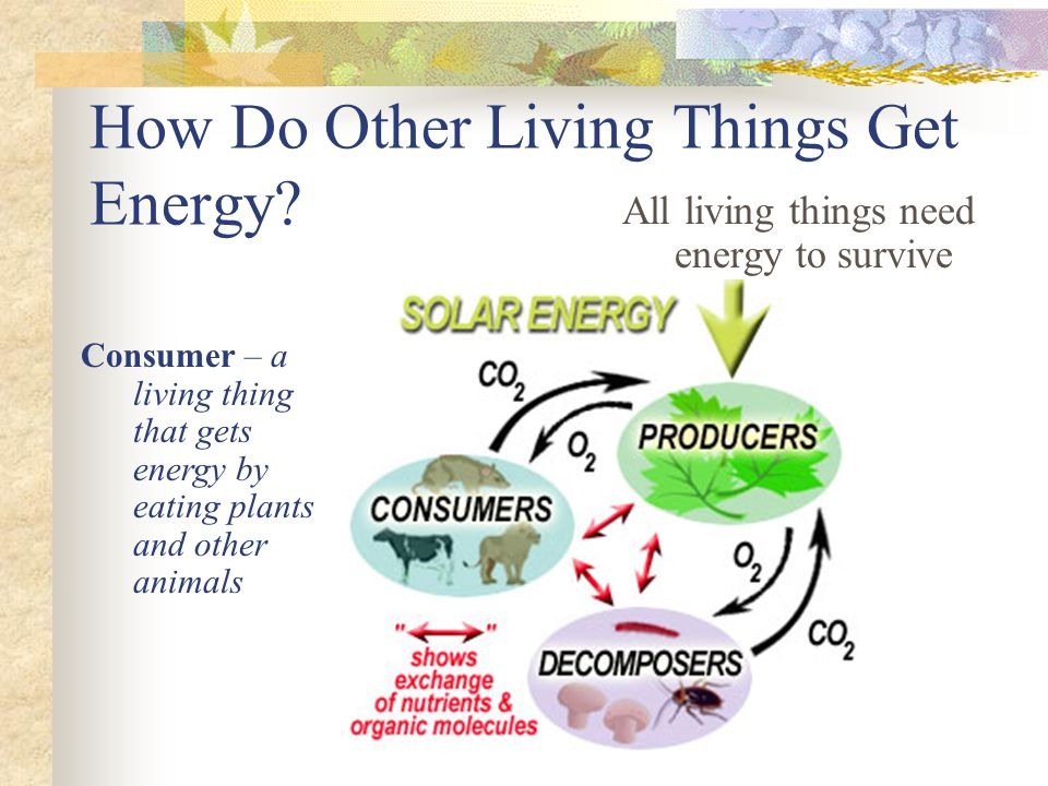 How Do Other Living Things Get Energy? All living things need energy to survive Consumer – a living thing that gets energy by eating plants and other