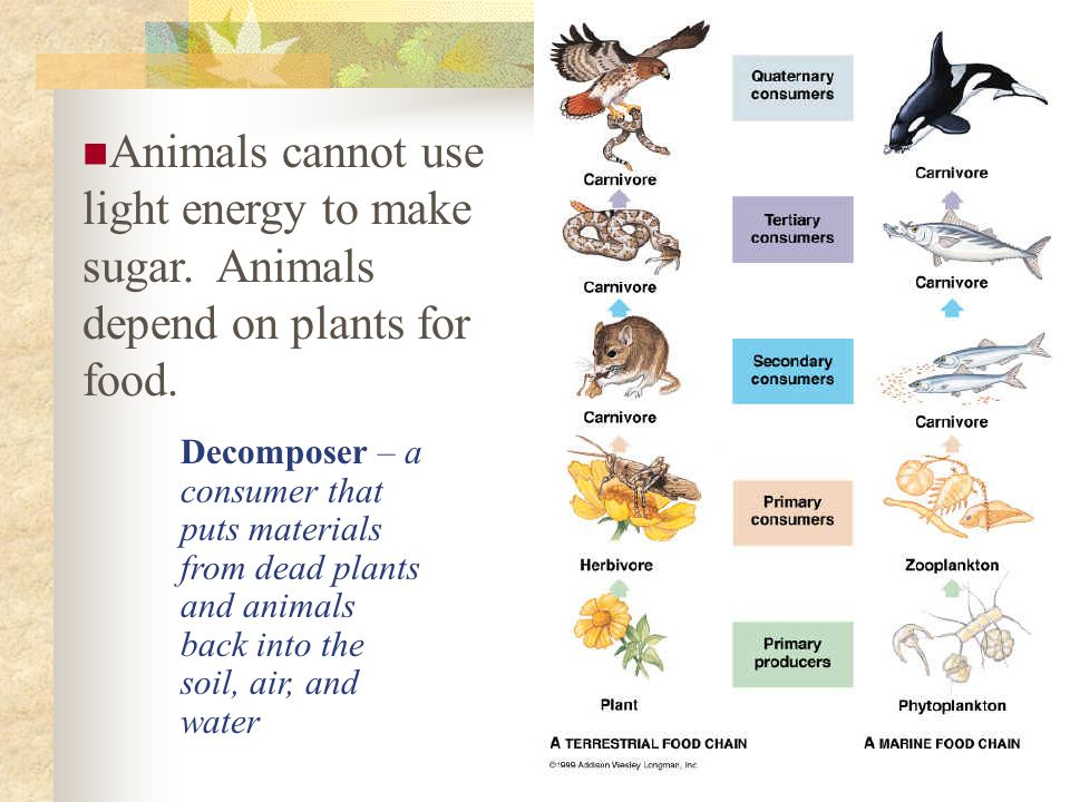Animals cannot use light energy to make sugar. Animals depend on plants for food. Decomposer – a consumer that puts materials from dead plants and ani