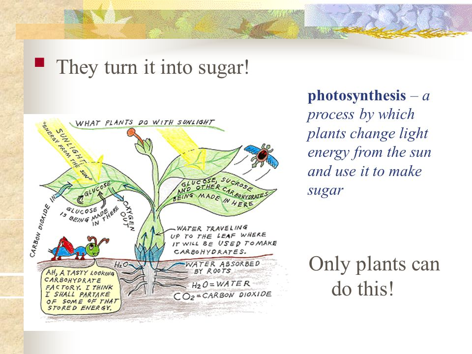 They turn it into sugar! photosynthesis – a process by which plants change light energy from the sun and use it to make sugar Only plants can do this!