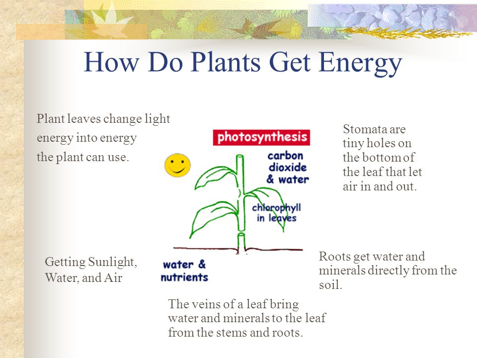 How Do Plants Get Energy Plant leaves change light energy into energy the plant can use. Stomata are tiny holes on the bottom of the leaf that let air