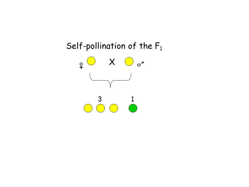 Self-pollination of the F 1 + o o X 3 1