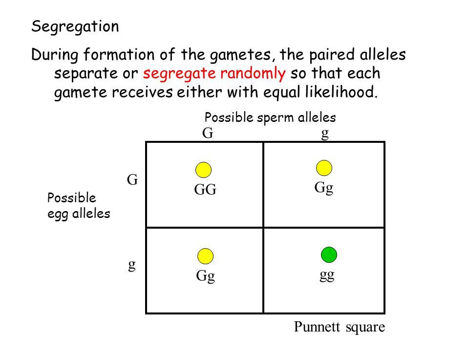 Segregation During formation of the gametes, the paired alleles separate or segregate randomly so that each gamete receives either with equal likeliho