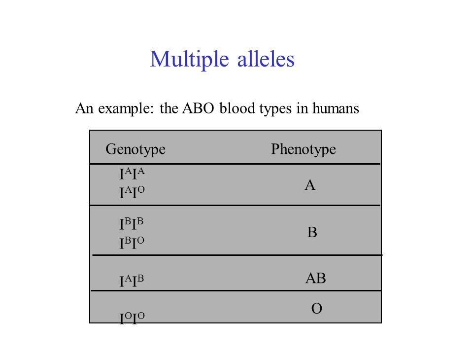 Multiple alleles An example: the ABO blood types in humans Genotype Phenotype IAIAIAIOIBIBIBIOIAIBIOIOIAIAIAIOIBIBIBIOIAIBIOIO A B AB O