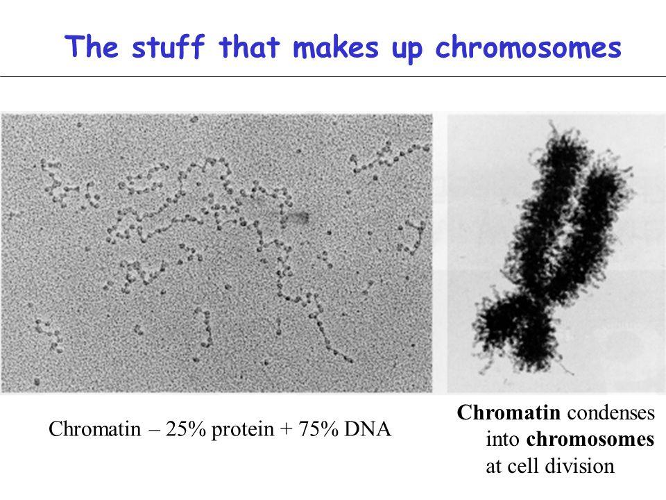 Chromatin – 25% protein + 75% DNA Chromatin condenses into chromosomes at cell division The stuff that makes up chromosomes