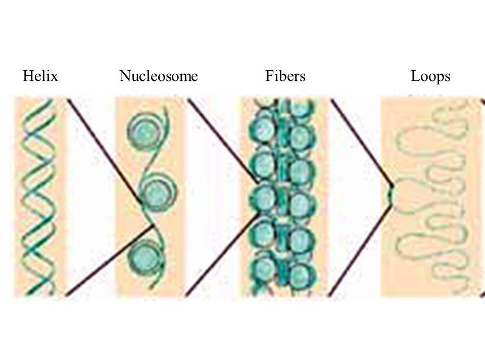 HelixNucleosomeFibersLoops