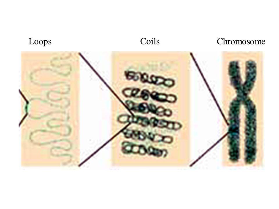 LoopsCoils Chromosome