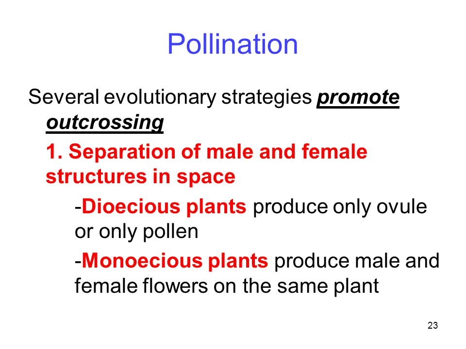 23 Pollination Several evolutionary strategies promote outcrossing 1. Separation of male and female structures in space -Dioecious plants produce only