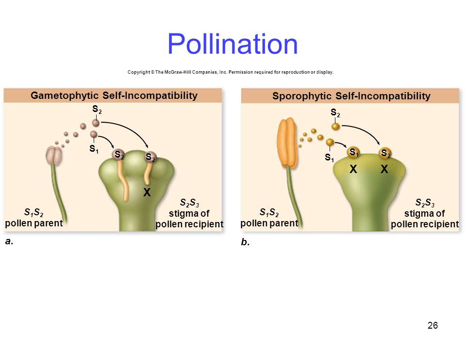 26 a.a. b. Gametophytic Self-Incompatibility Sporophytic Self-Incompatibility S 1 S 2 pollen parent S2S2 S1S1 S2S2 S2S2 S1S1 S2S2 X S1S1 S2S2 XX Copyr