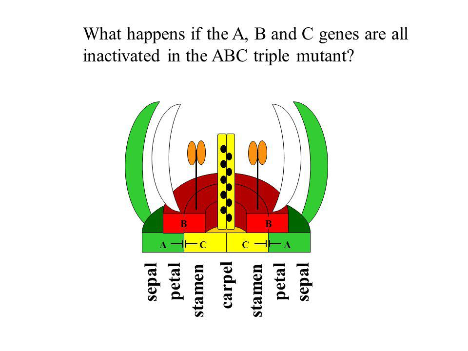 sepal petal stamen carpel B B ACCA What happens if the A, B and C genes are all inactivated in the ABC triple mutant