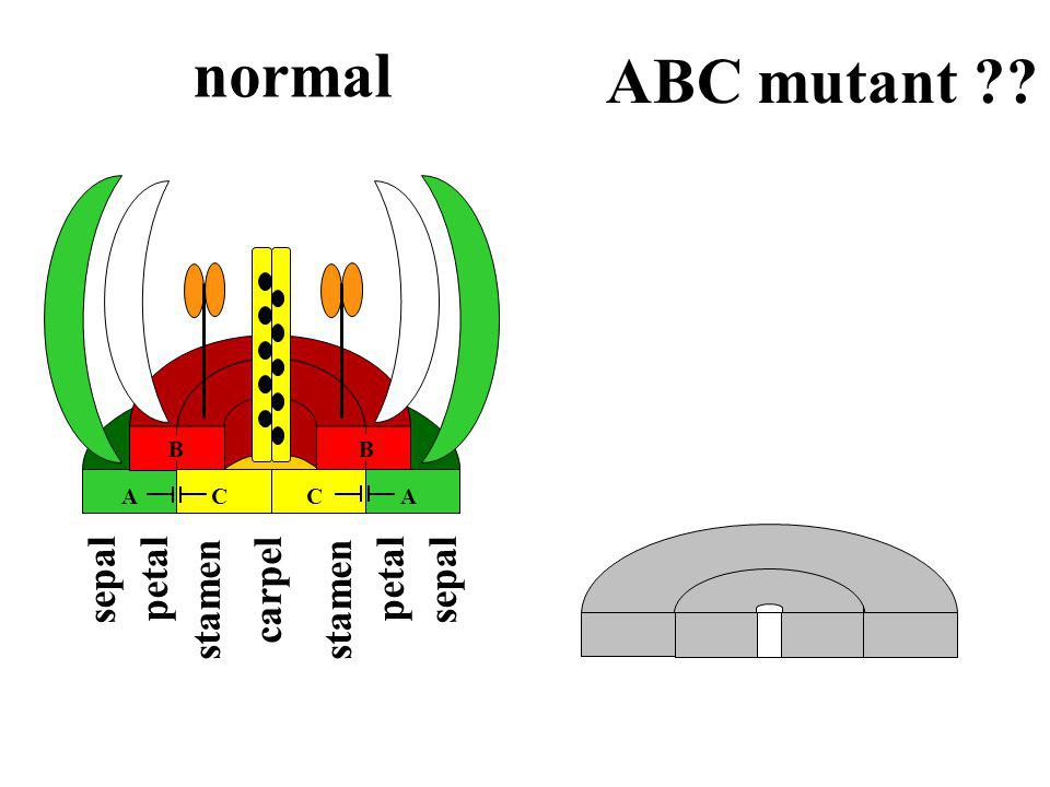 normal ABC mutant sepal petal stamen carpel B B ACCA