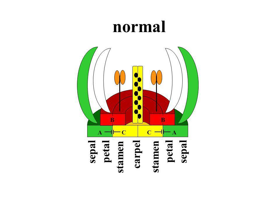 B normal stamen carpel sepal B ACCA petal