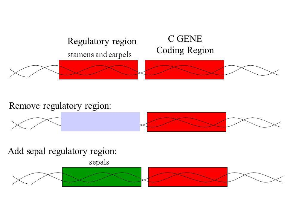 Regulatory region stamens and carpels C GENE Coding Region sepals Add sepal regulatory region: Remove regulatory region: