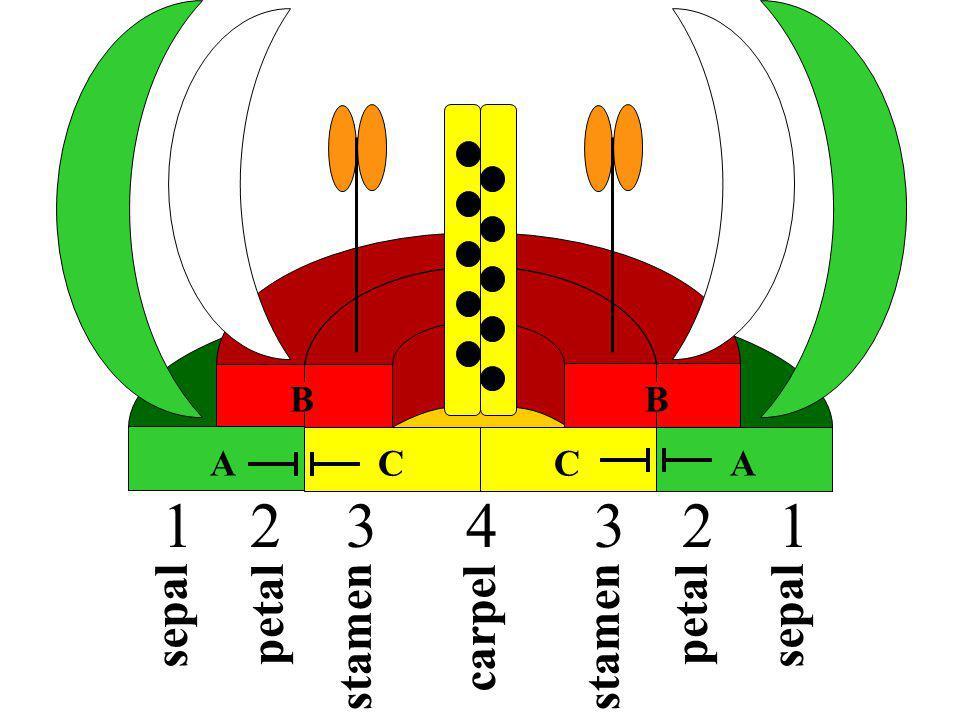 B ACCA B carpel petal stamen sepal 1122334