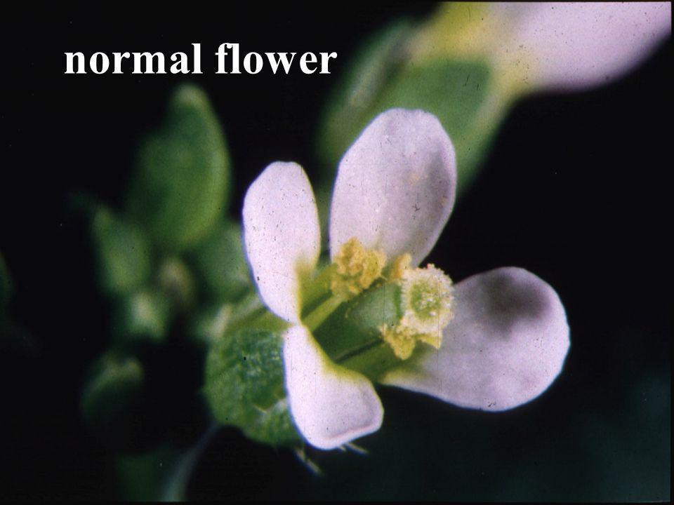 normal flower