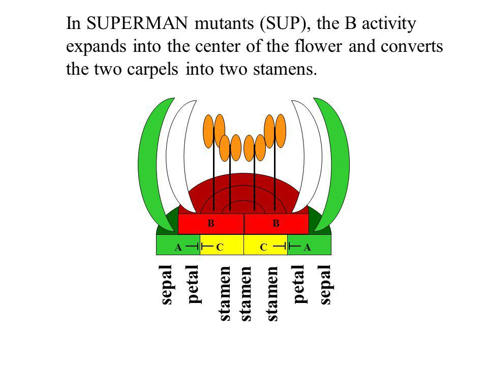 In SUPERMAN mutants (SUP), the B activity expands into the center of the flower and converts the two carpels into two stamens.