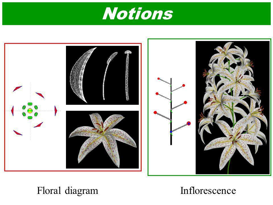 Floral Diagram Pi : pistil : St : stamen : Pe : petal : O : ovary : Se : sepal : Bra : bract : R : floral receptacle : A : axis Up : petal connate to petal : Sp : sepal adnate to stamen :
