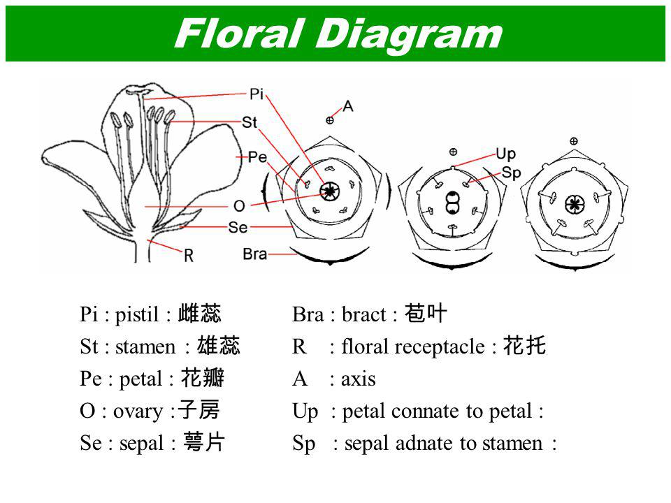 Floral Diagram Pi : pistil : St : stamen : Pe : petal : O : ovary : Se : sepal : Bra : bract : R : floral receptacle : A : axis Up : petal connate to petal : Sp : sepal adnate to stamen :
