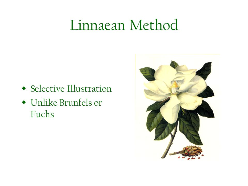 Linnaean Method Selective Illustration Unlike Brunfels or Fuchs