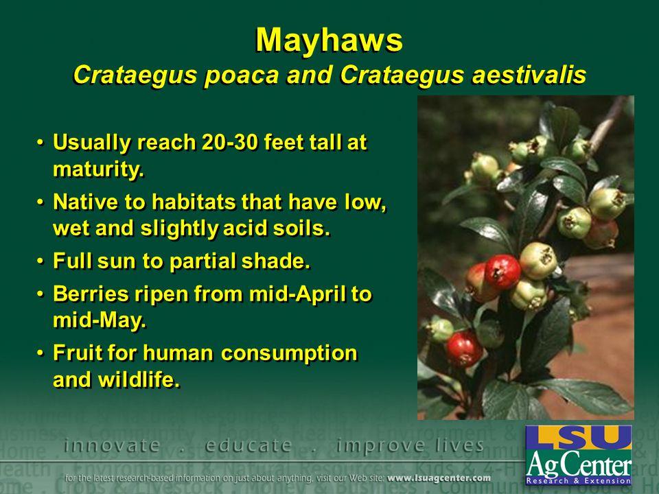 Mayhaws Crataegus poaca and Crataegus aestivalis Usually reach 20-30 feet tall at maturity. Native to habitats that have low, wet and slightly acid so