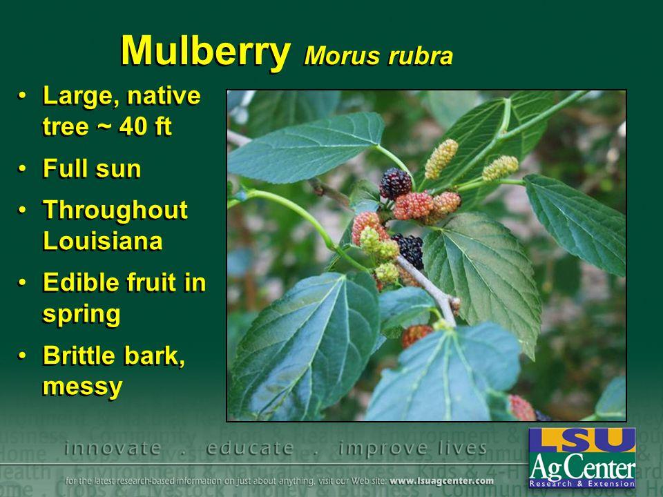 Mulberry Morus rubra Large, native tree ~ 40 ft Full sun Throughout Louisiana Edible fruit in spring Brittle bark, messy Large, native tree ~ 40 ft Fu