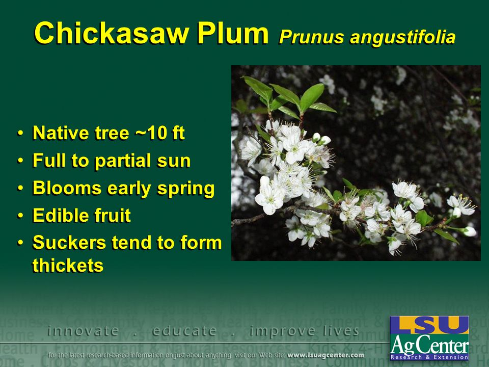 Chickasaw Plum Prunus angustifolia Native tree ~10 ft Full to partial sun Blooms early spring Edible fruit Suckers tend to form thickets Native tree ~