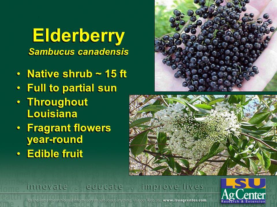 Elderberry Sambucus canadensis Native shrub ~ 15 ft Full to partial sun Throughout Louisiana Fragrant flowers year-round Edible fruit Native shrub ~ 1