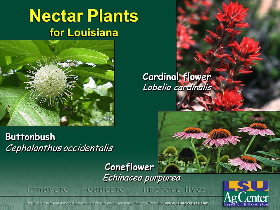 Nectar Plants for Louisiana Buttonbush Cephalanthus occidentalis Cardinal flower Lobelia cardinalis Coneflower Echinacea purpurea
