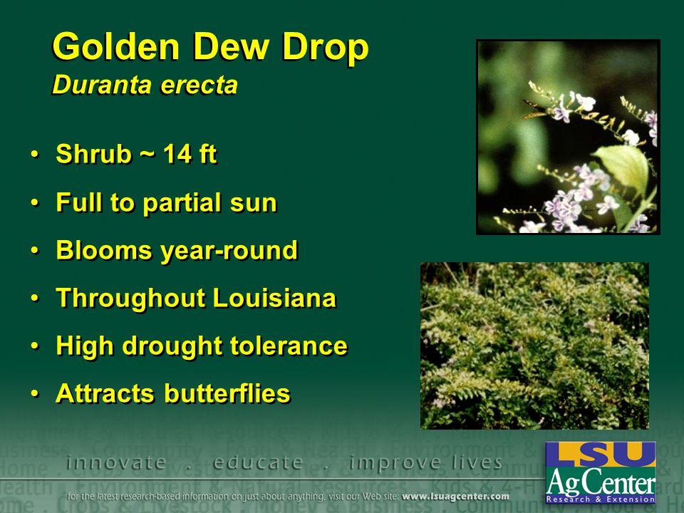 Golden Dew Drop Duranta erecta Shrub ~ 14 ft Full to partial sun Blooms year-round Throughout Louisiana High drought tolerance Attracts butterflies Sh