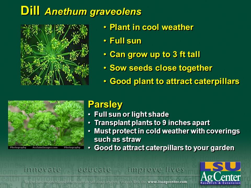 Dill Anethum graveolens Plant in cool weather Full sun Can grow up to 3 ft tall Sow seeds close together Good plant to attract caterpillars Plant in c