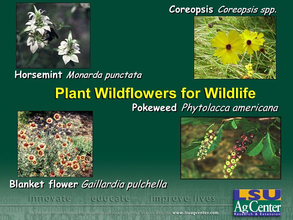 Plant Wildflowers for Wildlife Pokeweed Phytolacca americana Horsemint Monarda punctata Blanket flower Gaillardia pulchella Coreopsis Coreopsis spp.