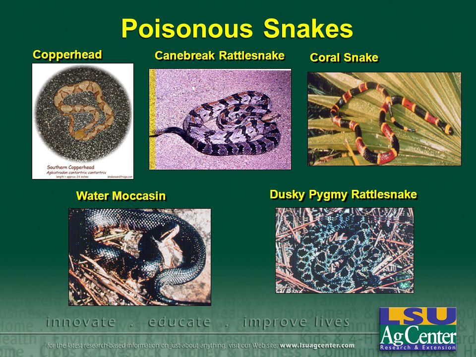 Poisonous Snakes Copperhead Canebreak Rattlesnake Coral Snake Water Moccasin Dusky Pygmy Rattlesnake