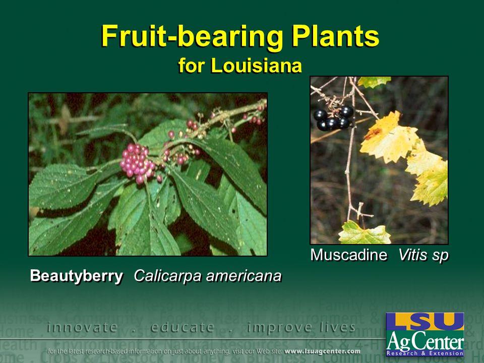 Fruit-bearing Plants for Louisiana Beautyberry Calicarpa americana Muscadine Vitis sp