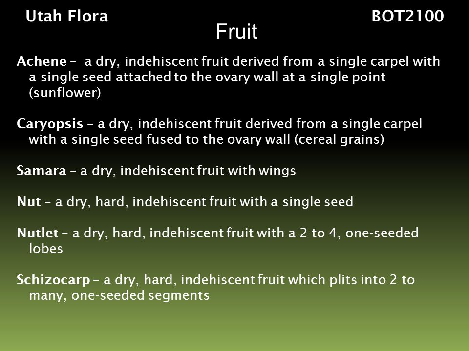Fruit Utah Flora BOT2100 Achene – a dry, indehiscent fruit derived from a single carpel with a single seed attached to the ovary wall at a single poin