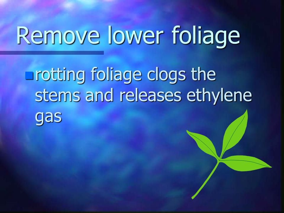 Remove lower foliage n remove all foliage from stems that would be underwater in the storage container n foliage left underwater will decay and lead to bacterial growth