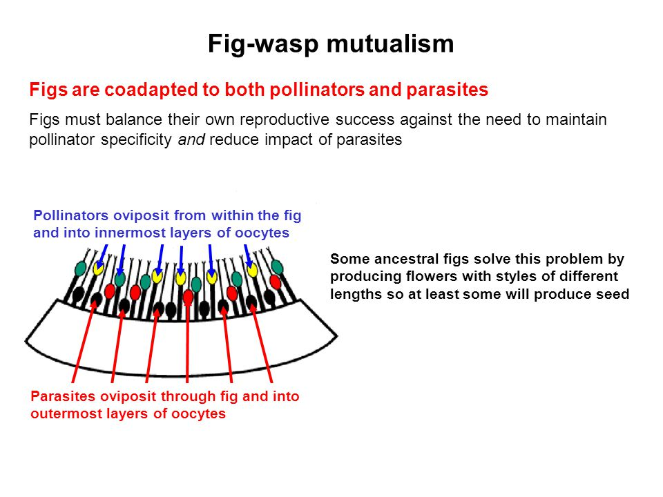 Figs are coadapted to both pollinators and parasites Figs must balance their own reproductive success against the need to maintain pollinator specific