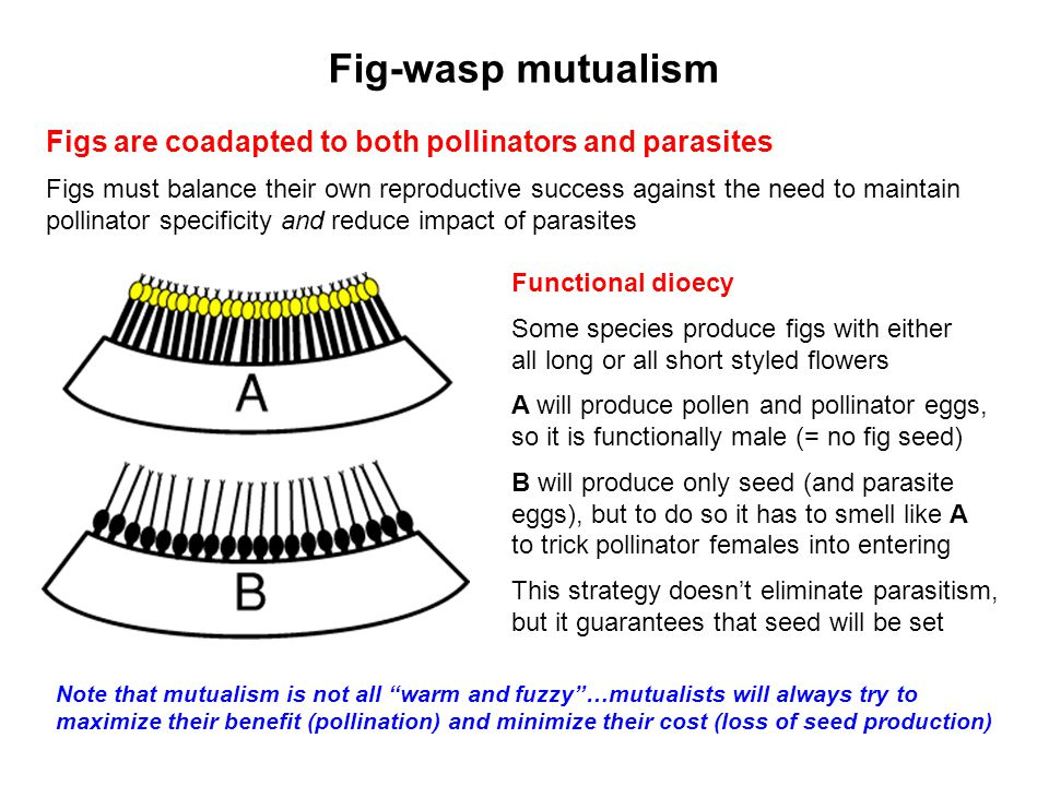 Fig-wasp mutualism Figs are coadapted to both pollinators and parasites Figs must balance their own reproductive success against the need to maintain