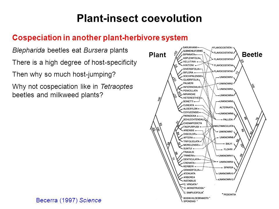 Plant-insect coevolution Cospeciation in another plant-herbivore system Blepharida beetles eat Bursera plants There is a high degree of host-specifici