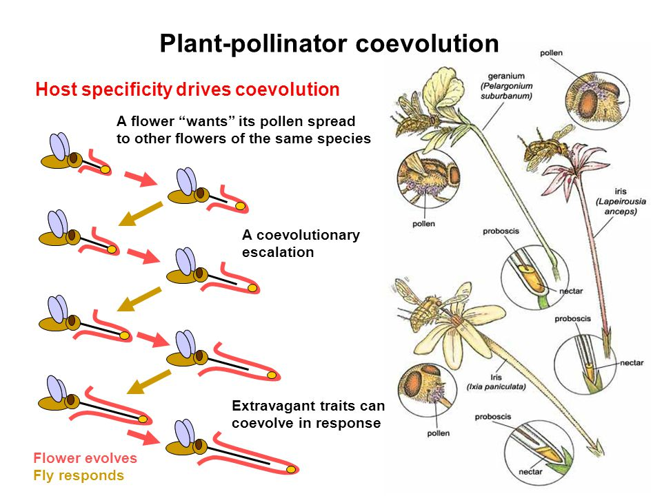 Host specificity drives coevolution A flower wants its pollen spread to other flowers of the same species Flower evolves Fly responds Extravagant trai