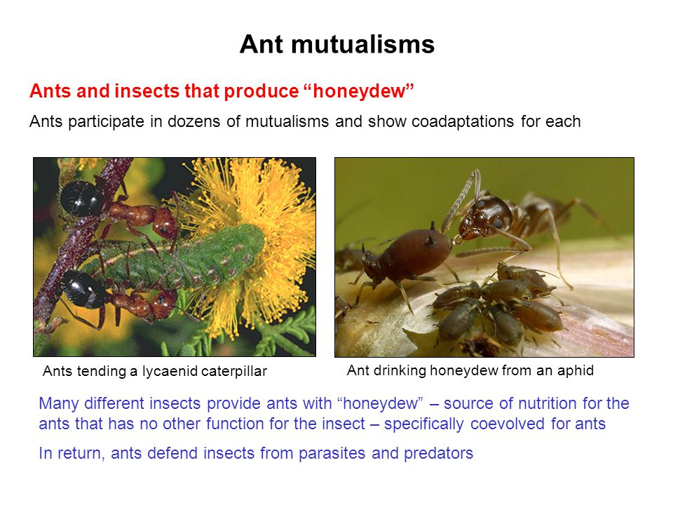 Ant mutualisms Ants and insects that produce honeydew Ants participate in dozens of mutualisms and show coadaptations for each Many different insects