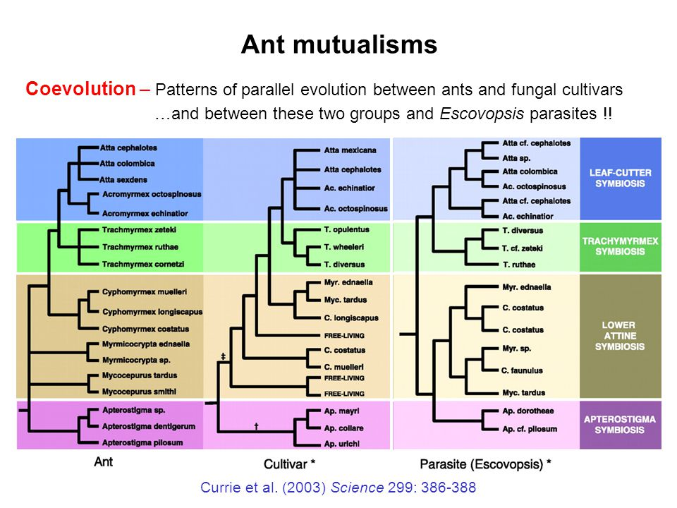 Currie et al. (2003) Science 299: 386-388 Coevolution – Patterns of parallel evolution between ants and fungal cultivars …and between these two groups