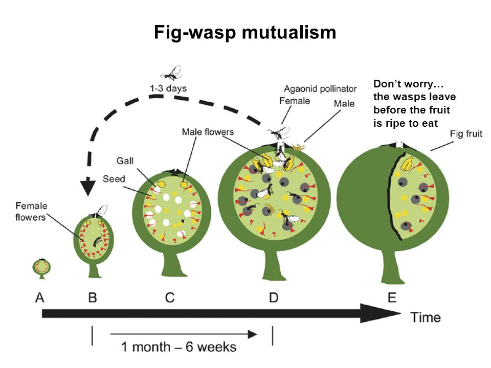 Fig-wasp mutualism Dont worry… the wasps leave before the fruit is ripe to eat