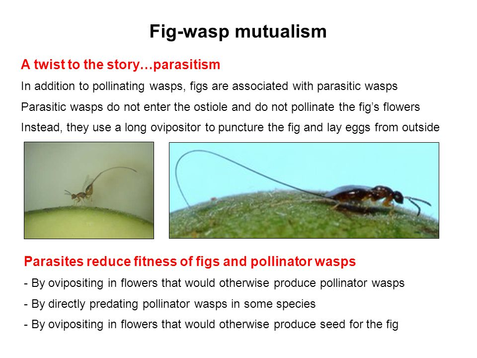 Fig-wasp mutualism A twist to the story…parasitism In addition to pollinating wasps, figs are associated with parasitic wasps Parasitic wasps do not e