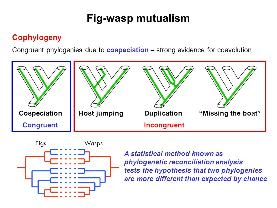 Cophylogeny Congruent phylogenies due to cospeciation – strong evidence for coevolution Fig-wasp mutualism Cospeciation Congruent Host jumping Duplica