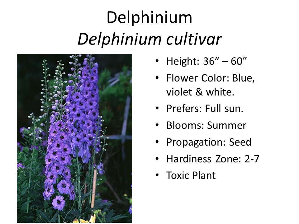 Delphinium Delphinium cultivar Height: 36 – 60 Flower Color: Blue, violet & white.