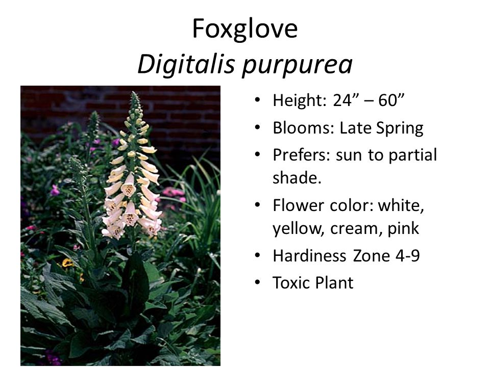 Foxglove Digitalis purpurea Height: 24 – 60 Blooms: Late Spring Prefers: sun to partial shade.