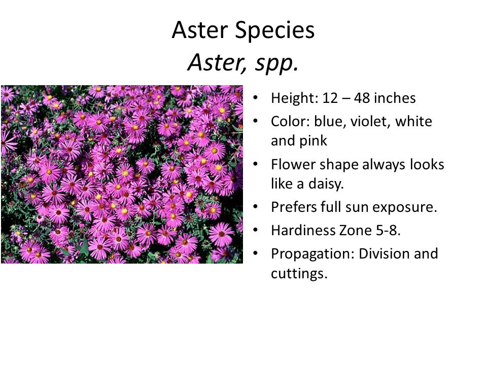 Aster Species Aster, spp.