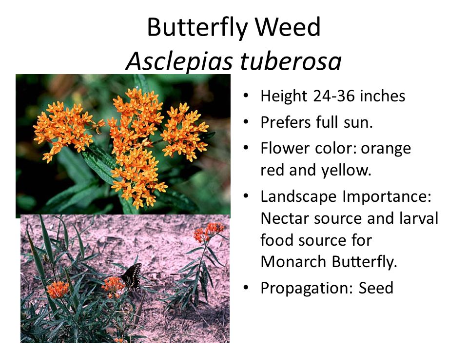 Butterfly Weed Asclepias tuberosa Height 24-36 inches Prefers full sun.