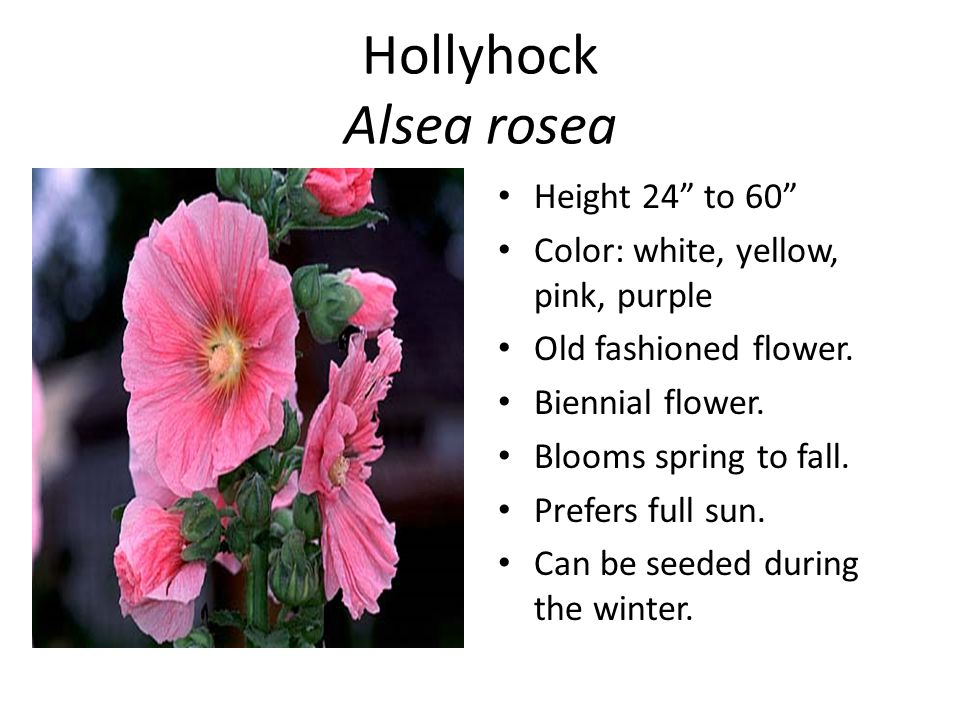 Hollyhock Alsea rosea Height 24 to 60 Color: white, yellow, pink, purple Old fashioned flower.
